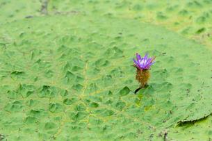 福島潟のオニバスの写真素材 [FYI02656140]
