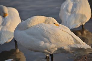 瓢湖の白鳥の写真素材 [FYI02656145]