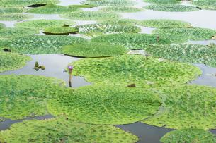 福島潟のオニバスの写真素材 [FYI02656146]