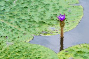福島潟のオニバスの写真素材 [FYI02656154]