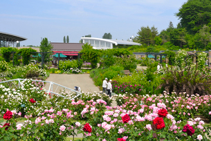 国営越後丘陵公園の香りのばら園の写真素材 [FYI02656169]