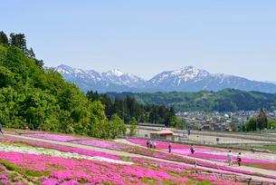 花と緑と雪の里公園の芝桜の写真素材 [FYI02656174]