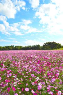 東山ふれあい農業公園のコスモス畑の写真素材 [FYI02656177]