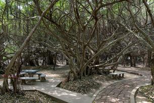 ベンガル菩提樹の森 の写真素材 [FYI02656191]