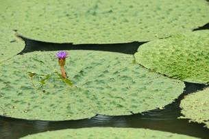 福島潟のオニバスの写真素材 [FYI02656219]