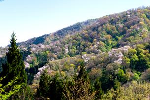 春の大峰山橡平サクラ樹林の写真素材 [FYI02656479]