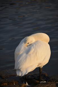 瓢湖の白鳥の写真素材 [FYI02656569]