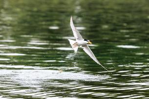 小魚を捕まえたコアジサシの写真素材 [FYI02656675]