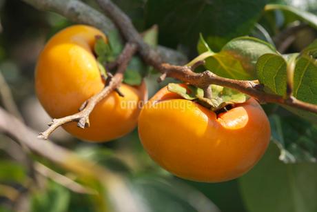 富有柿の写真素材 [FYI02656846]