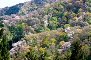 春の大峰山橡平サクラ樹林の写真素材 [FYI02656926]