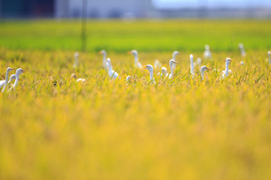 黄金色の田んぼに集まったチュウサギとアマサギの写真素材 [FYI02656929]