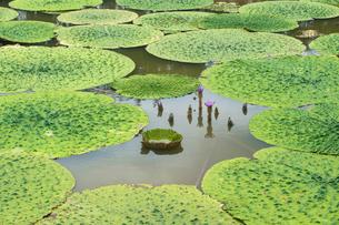 福島潟のオニバスの写真素材 [FYI02656935]