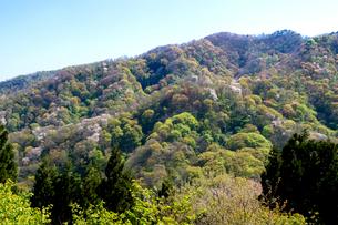 春の大峰山橡平サクラ樹林の写真素材 [FYI02657032]