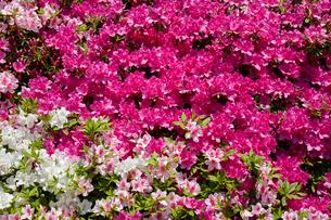 生駒山系、なるかわ園地のツツジ園の写真素材 [FYI02657156]