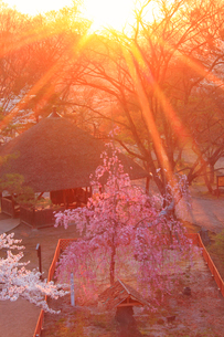 コモロヤエベニシダレと夕日の木もれ日の写真素材 [FYI02657171]