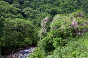 野生の藤の花と須砂渡渓谷の写真素材 [FYI02657224]