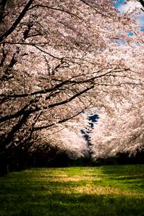 水沢競馬場の桜並木の写真素材 [FYI02657244]