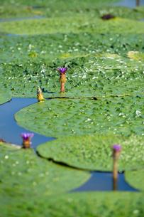 福島潟のオニバスの写真素材 [FYI02657356]