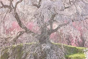 又兵衛桜の写真素材 [FYI02657423]