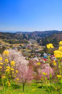 ソメイヨシノなどの桜と菜の花と浅間山方向の山並みの写真素材 [FYI02657448]