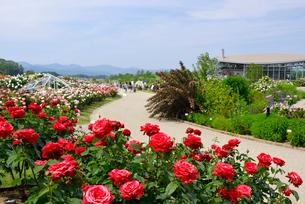 国営越後丘陵公園の香りのばら園の写真素材 [FYI02657454]