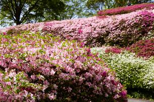 生駒山系、なるかわ園地のツツジ園の写真素材 [FYI02657468]