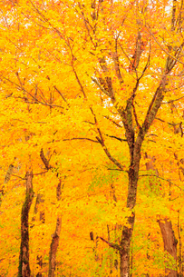 黄葉の写真素材 [FYI02657598]