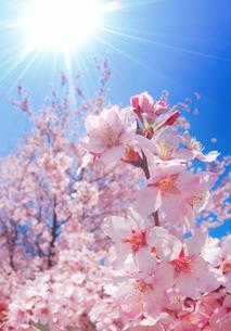 桜と太陽の光芒の写真素材 [FYI02657716]