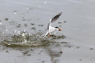 小魚を捕まえて水から飛び出すコアジサシの写真素材 [FYI02657731]