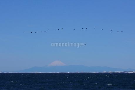 幕張の浜から見る富士山,東京湾とウの群れの写真素材 [FYI02657753]