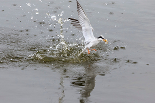 小魚を捕まえて水から飛び出すコアジサシの写真素材 [FYI02657764]