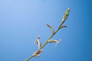 多肉植物 ハオルチアの花の写真素材 [FYI02658242]