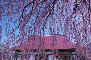 天真山周林禅寺の樹齢約120年の雪洞(ぼんぼり)桜の写真素材 [FYI02658281]