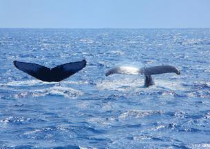 ザトウクジラのペアのプルークアップダイブと輝くテールの写真素材 [FYI02658362]
