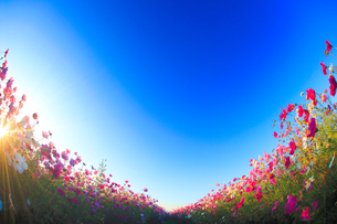 コスモス畑と朝日の光芒の写真素材 [FYI02658402]