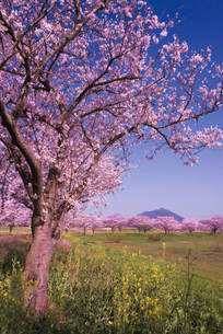 青空に日本百名山の筑波山と母子島遊水地の桜並木とナノハナの写真素材 [FYI02658417]