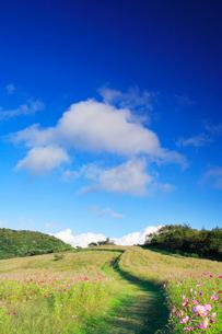 コスモス畑と綿雲の写真素材 [FYI02658490]