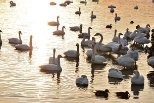 瓢湖の白鳥の写真素材 [FYI02658529]