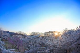 コモロヤエベニシダレとソメイヨシノと夕日の木もれ日の写真素材 [FYI02658567]
