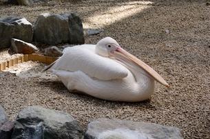 松江 フォーゲルパーク水鳥温室のコシベニペリカンの写真素材 [FYI02658642]