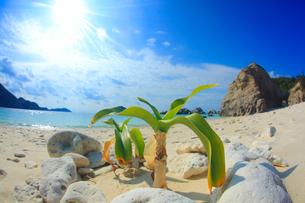 阿波連ビーチとヤシの幼樹と太陽の光芒の写真素材 [FYI02658725]