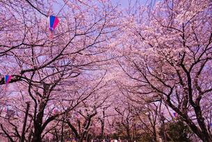 飛鳥山公園の桜の写真素材 [FYI02658979]