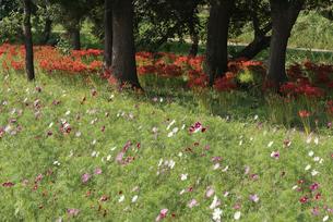 コスモス畑とリコリス ヒガンバナ群落とアカメヤナギの写真素材 [FYI02659029]