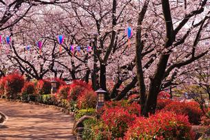 飛鳥山公園の桜の写真素材 [FYI02659044]