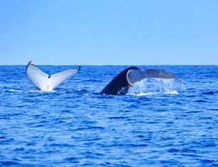 ザトウクジラのペアのプルークアップダイブの写真素材 [FYI02659090]