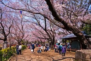 飛鳥山公園の桜の花見する人々の写真素材 [FYI02659104]