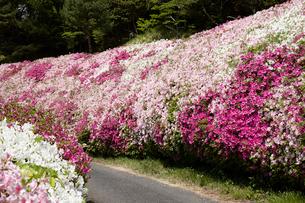 生駒山系、なるかわ園地のツツジ園の写真素材 [FYI02659155]