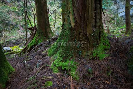 河内風穴入り口付近の樹木の写真素材 [FYI02659202]