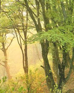 朝霧のブナ林の写真素材 [FYI02659244]