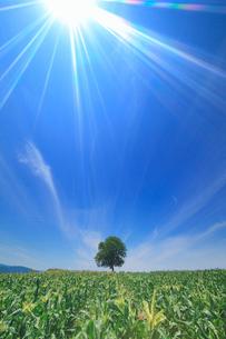 くるみの木立とトウモロコシ畑と放射状のすじ雲と太陽の光芒の写真素材 [FYI02659273]